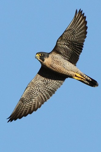 peregrine falcons make history in the shadow of the eiffel. Black Bedroom Furniture Sets. Home Design Ideas