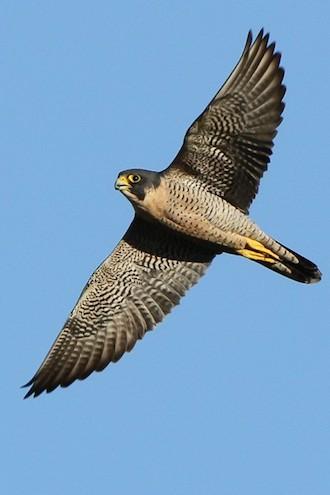 Peregrine Falcon at Sepulveda Basin, Van Nuys, California, October 7, 2011, by Alexander Viduetsky.