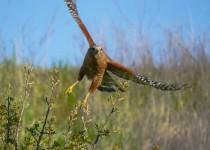 Red-Shouldered-Hawk-in-flight