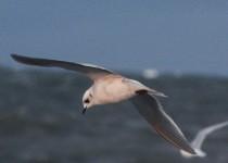 Rosss-Gull-Barrow