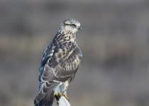 Rough-legged-Hawk-9