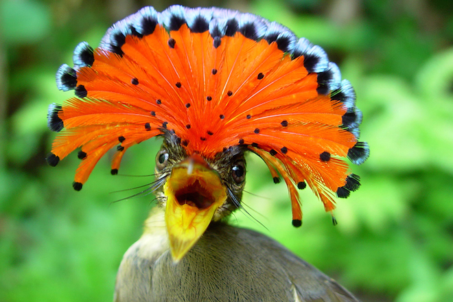 ROYAL FLYCATCHER: The insect-eater relies on coffee-growing regions of Central and South America. Photo courtesy of Fundación ProAves.
