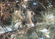Sharp-Shinned-Hawk-with-mouse-1