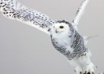 Snowy-owl-on-snowy-owl-sign-a