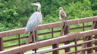 blue-heron-and-hawk-2