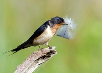 flintpsribarnswallow