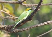 green-bee-eater-merops-orientalis