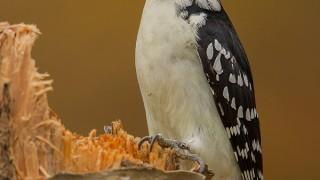 hairy-woodpecker-on-birch-tree-2-EA7G1050