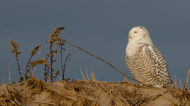 Snowy Owl at Parker River NWR in Massachusetts, November 22, 2014, by Kim Caruso.