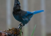 Steller's Jay ©2014 Monte Comeau