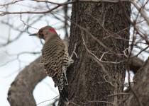 woodpecker-robinsetc.11-1-14-014
