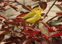 yellowwarb281