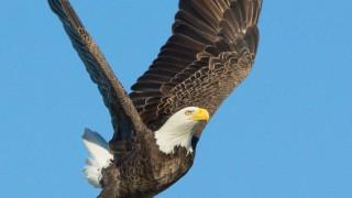 Bald-Eagles-300-of-587-1