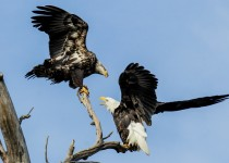 Bald-Eagles-Interacting