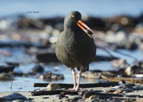 Black-Oystercatcher-5