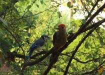 BlueJay_Woodpecker