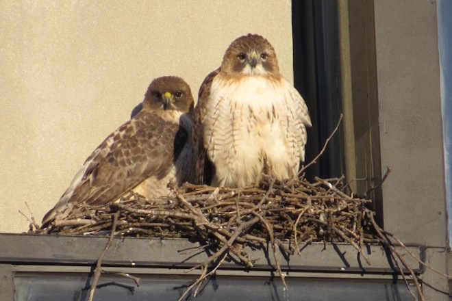 Red-tailed Hawks Buzz and Ruby (right) sit on their nest in Cambridge, Massachusetts, in January 2013. Photo by Susan Moses.