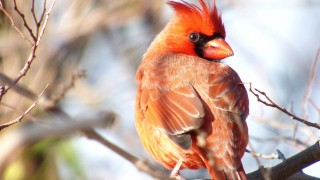 Cardinal-Closeup