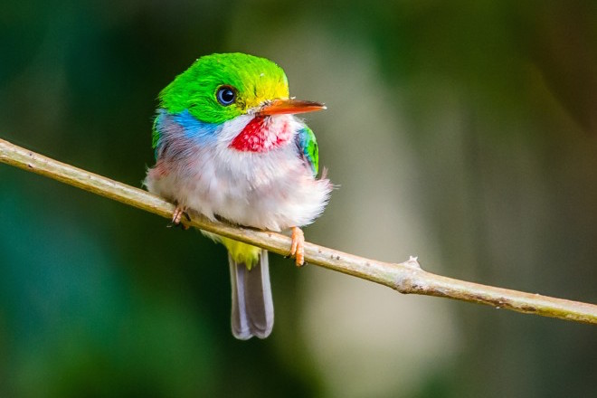 Cuban Tody on Cayo Coco, Cuba, by Maureen Breakiron-Evans.