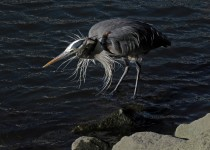 Great-Blue-Heron-2-Tony-Britton-2014