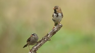 Harriss-Sparrow-and-WC-Sparrow