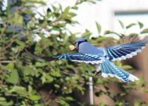 Hawk-birds-11-10-14-005ab