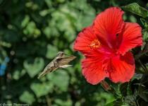 Hummingbird at Hibiscus