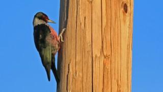Lewiss-Woodpecker