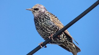 European Starling by Charles Wen