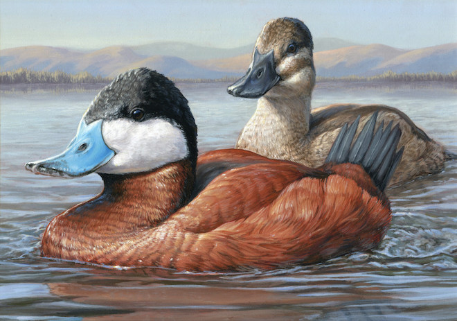 Ruddy Ducks by Jennifer Miller, Olean, New York, winner of the 2014 Federal Duck Stamp Art Contest. Courtesy U.S. Fish & Wildlife Service, Federal Duck Stamp Office.