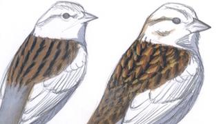 Sibley Sparrows_320x180