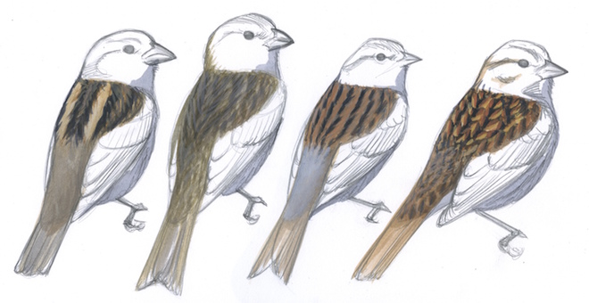 USEFUL BACK PATTERNS: Each species above has a streaked back, but the patterns are distinctly different. House Sparrow sports bold stripes, House Finch appears smudgy, Chipping Sparrow has even streaks, and Song Sparrow looks spangled. Art by David Sibley.