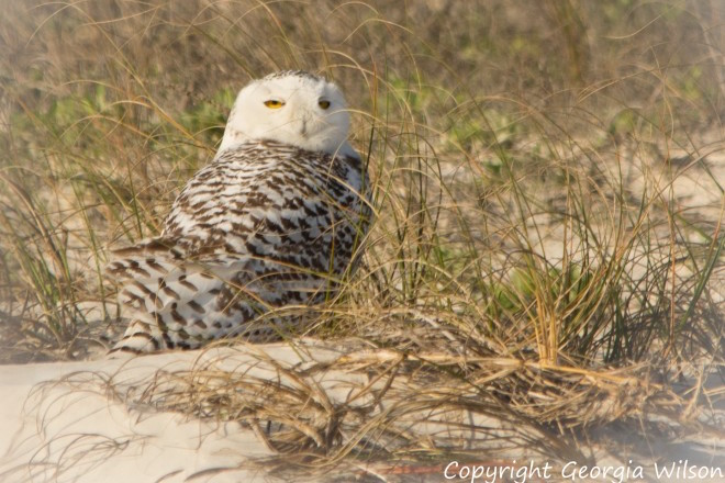 Snowy Owl on Little Talbot Island State Park, Florida, by geopix.