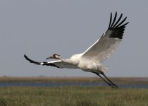 Whooping-Crane-Aransas-NWR_8109