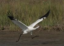Whooping-Crane-Aransas-NWR_8217