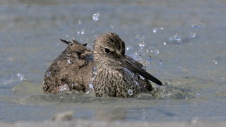 Willet_Bathing_Small2