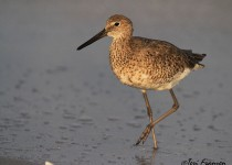 Willet_Sgn_Small