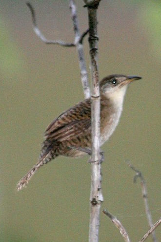 Zapata Wren, November 11, 2006, by Dominic Sherony, via Wikimedia Commons.