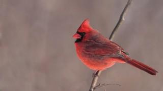 cardinal-3