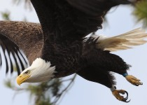 Bald Eagle ©2008 Alex Westner