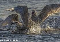 gull-bird-20131122113-Edit