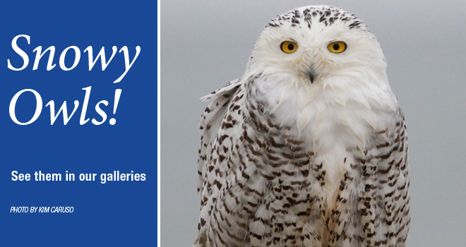 snowy-owls-rotator