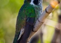 white-eared-hummingbird