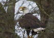Bald-Eagle-001