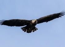 Bald-Eagle-in-Flight-shot