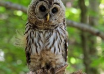 Barred_Owl_Juv_Small