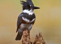Belted_Kingfisher_Small