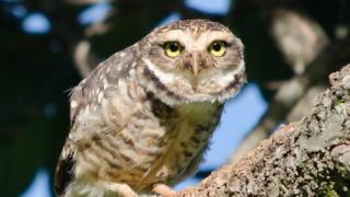 BirdWatching-Mgz-Burrowing-Owl