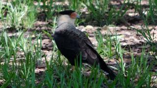 BirdWatching-Mgz-Southern-Caracara