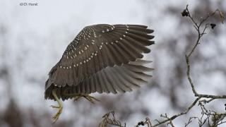 Black-crowned-Night-Heron-juvenile-6